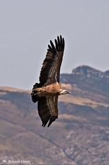 Grifone _016 (Rolando CRINITI) Tags: grifone uccelli uccello birds rapaci ornitologia goledelverdon lapaludsurverdon francia natura