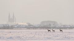 0711 Wild And The City (Hrvoje Simich - gaZZda) Tags: winter outdoors noperson deer djakovo croatia europe nikon nikond750 sigma150500563 gazzda hrvojesimich