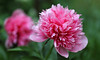Joyful Anticipation (AnyMotion) Tags: peony pfingstrose paeoniaofficinalis blossom blüte bokeh 2017 anymotion plants pflanzen nature blumen floral flowers garden garten frankfurt spring frühling primavera printemps colours colors farben pink 6d canoneos6d