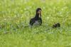 CALAO (Ezio Donati is ) Tags: foresta forest animali animals uccelli birds erba grass fiori flowers africa costadavorio bingervillearea