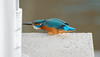 female incoming... (petegatehouse) Tags: kingfisher male squatting attack defend ready towncentre