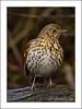 Song Thrush (Turdus philomelos) (prendergasttony) Tags: thrush rspb nikon d7200 tonyprendergast wildlife pennington countrypark songthrush turdusphilomelos bird nature