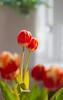12/50 project 50 mm (Thea Teijgeler) Tags: bloem tulp tulip zonnestraal sunray red rood