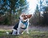 okay. . . (cathy sly) Tags: basil beagle hound dogears luckyclick doglove