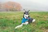 Foggy Day at Acadia National Park (rohithpalagiri) Tags: dog grass field pet acadia animal fog husky