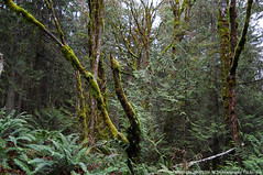2018-01-24 Whistle Lake Trail 21 (03) (1024x680) (-jon) Tags: anacortes skagitcounty skagit fidalgoisland sanjuanislands washingtonstate washington pnw pacificnorthwest salishsea pugetsound acfl anacortescommunityforestlands winter tree woods forest whistlelake 21 trail lake nikon nikoncoolpixl22 a266122photographyproduction alder fern douglasfir