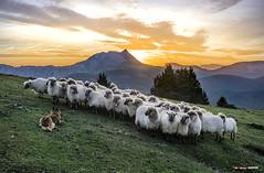 Rebaño de Jon Bizkarra (Jabi Artaraz) Tags: jabiartaraz jartaraz zb euskoflickr rebaño ovejas sheep montaña mendia amanecer anboto urkiola saibi nature