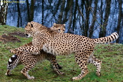 playful Cheetahs - verspielte Geparden (in explore 31.01.2018) (Noodles Photo) Tags: acinonyxjubatus gepard cheetah carnivora feloidea felidae felinae acinonyx canoneos7dmarkii ef100400mmf4556lisusm safariparkbeeksebergen beeksebergen zoo niederlande netherlands inexplore