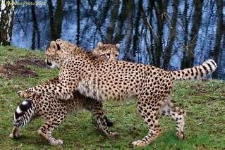 playful Cheetahs - verspielte Geparden (in explore 31.01.2018)