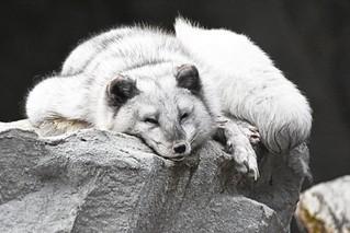 arktička lisica (Vulpes lagopus / Arctic Fox / Polarfuchs)