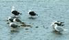 Greater Black-backed Gull / Svartbakur (Larus marinus), Lesser black-backed gull / Sílamáfur (Larus fuscus) and Glaucous gull / Hvítmáfur (Larus hyperboreus) (thorrisig) Tags: 09082017 dýr fuglar glaucousgull greaterblackbackedgull hvítmávur larushyperboreus larusmarinus lesserblackbackedgull svartbakur sílamáfur hvítmáfur larusfuscus máfar mávar sílamávur sigurgeirsson sigurgeirssonþorfinnur dorres iceland ísland island thorrisig thorfinnursigurgeirsson thorri þorrisig thorfinnur þorfinnur þorri þorfinnursigurgeirsson birds bird animals icelandicbirds íslenskirfuglar gulls seagulls