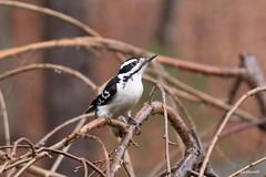 Hairy Woodpecker  Picoides villosus (jackhawk9) Tags: hairywoodpecker picoidesvillosus woodpecker bird wildlife nature southjersey jackhawk9 newjersey usa canon ngc birdwatcher fantasticnature
