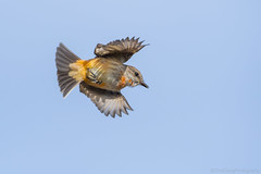 In Flight (MerlinCD) Tags: flycatcher vermilion