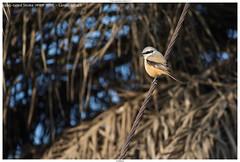 Long-tailed Shrike (कजला लटोरा) - Lanius schach (jhureley1977) Tags: longtailedshrike कजलालटोरा laniusschach birds birding birdsofindia birdsindia indiabirding2018 ashjhureley avibase naturesvoice bbcspringwatch rspbbirders sanctuaryasia orientbirdclub ashutoshjhureley jabalpur jabalpurbirds