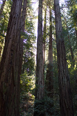muir woods majesty (explored 2/16/18) (naaandrea) Tags: muirwoods redwoods marincounty