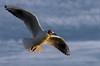 Vlissingen (Omroep Zeeland) Tags: vlissingen meeuwen westerschelde zeeland kust