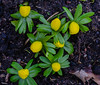 Winter aconites (frankmh) Tags: plant flower winteraconite hittarp skåne sweden outdoor spring