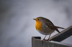 Rouge-gorge (Marc Andreu) Tags: rougegorge oiseau nature extérieur animal chanteur perché sol ground bird perched plumage hiver oiseauchanteur winter cold neige snow marcandreu andreumarc
