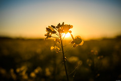 Last sunrays (Rico the noob) Tags: dof bokeh landscape sunset closeup flower switzerland outdoor 2016 calyx sun zurich schweiz d500 published sky floral blossom nature 1835mm 1835mmf18