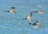 Red-breasted Mergansers- Hammond IN. Lakefront Park - January 06, 2018 (Michael Topp) Tags: redbreasted merganser michael topp hammond indiana lakefront park lake county ias birds
