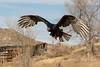 Turkey Vulture in flight (TonysTakes) Tags: turkeyvulture turkeybuzzard vulture raptor bird wildlife colorado coloradowildlife sedalia natureseducators