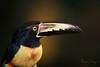 Aracari (Megan Lorenz) Tags: collaredaracari aracari toucan bird avian rainforest nature wildlife wild wildanimals travel costarica mlorenz meganlorenz