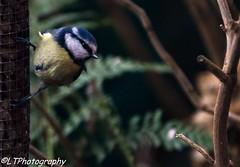 Blue Tit (endangeredspecys) Tags: garden birds