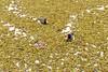 Siempre sobran las fotos de patos (Grita Efimero) Tags: argentina buenosaires nikond5500 1855mm reflex patos costanerasur reservaecológica
