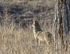 Urban Coyote (ardeth.carlson) Tags: coyote animal wildlife nature colorado