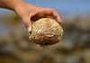 Seeigel - Sea Urchin (SoniaShari) Tags: connemara ireland eire irland inishbofin island insel seaurchin seeigel