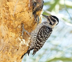 Ladder-backed Woodpecker (female) (christopheradler) Tags: california ladderbacked woodpecker picoides scalaris