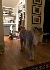 29/365 (moke076) Tags: 2018 365 project 365project project365 oneaday photoaday iphone cell cellphone mobile vscocam vsco pet sit animal dog goldendoodle golden retriever poodle mix mutt doodle cat tommy house living room stalking patiently murphy