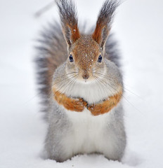 - Hey! Where is my nuts??? (Hungry SnowBaby ⛄ waiting for nuts) (L.Lahtinen (nature photography)) Tags: finland winter squirrel redsquirrel snow portrait january 2018 nikond3200 nikkor55300mm nature europe naturephotography wildlife cute adorable furry snowflakes whiskers cold frost closeup 7dwf wild hungrysquirrel funnysquirrel fauna suomi orava kurre talvi luonto lunta lumi suloinen söpö dof fluffy eyes fellow squirrelinwinter snowing curious pretty depthoffield longtufts