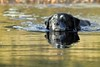 The Golden Girl (Pog's pix) Tags: dog pet swimming golden stream cold freezing cute black whiskers eyes fun reflection scotland winter animal poppy water river old clydemuirshiel muirshielcountrypark renfrewshire bokeh bubbles