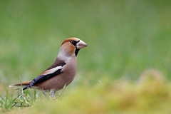 Grosbec casse-noyaux (sfrancois73) Tags: oiseau faune affût grosbeccassenoyaux drinkstation jardin