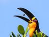 Channel-billed Toucan - Ramphastos vitellinus (odd.steinveg) Tags: channelbilledtoucan ramphastosvitellinus birdwaching brazil birding toucan ramphastos
