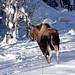 Moose on the run . .