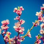 cherry blossoms [Day 3325] thumbnail