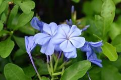 WOL Calauan Laguna Philippines Day 1 (123) (Beadmanhere) Tags: philippines flowers