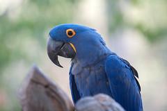 Samson the Macaw. (LisaDiazPhotos) Tags: samson macaw lisadiazphotos sdzsafaripark sdzoo sdzsp sandiegozoo sandiegozooglobal sandiegozoosafaripark sandiegosafaripark bird