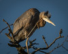 It itches right... there (barnmandb65) Tags: greatblueheron heron blue feathers feet toenails scratch itch morning light nature
