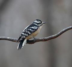 Prey Detected (1 of 3) Pls see next 2 photos also. (Reid2008) Tags: downywoodpecker atlantaga