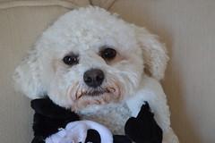 Ollie 4 (Krasivaya Liza) Tags: ollie granddog grand dog doggie bichon frise pet atlanta ga georgia