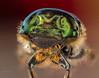 Green Scarab Beetle (/ys) Tags: macro bug extrememacro beetle green scarabbeetle bokeh backgrounds supermacro insects shiny nikon 24mm fullframe flash brisbane queensland australia