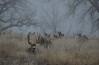 Foggy Morning (ap0013) Tags: whitetail deer nature wildlife animal rocky mountain arsenal national refuge denver colorado fog foggy rockymountainarsenal denvercolorado whitetaildeer denverco