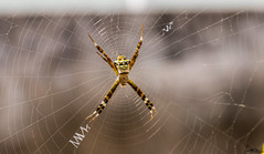 IMG_3864 (simonprakasharokiadoss) Tags: spider insect canoneos77d canon1855mmstm macro home web