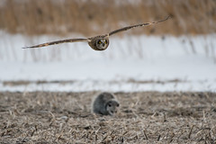 """On Second Thought"" (Short-Eared Owl and Opossum) (Jesse_in_CT) Tags: shortearedowl opossum nikon200500mm"