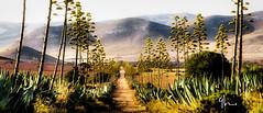 Summer (crayencurt) Tags: cabo de gata parque natural pita pitera agave agabe camino