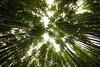 嵐山竹林 - Arashiyama Bamboo Grove (Hachimaki123) Tags: 日本 japan kyoto 京都 風景 paisaje landscape 嵐山竹林 嵐山 竹林 竹 arashiyamabamboogrove arashiyama bamboogrove bamboo