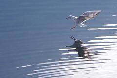 fine volo (Fabio.Buoso) Tags: natura paesaggio lago di lugano gabbiano riflesso volo